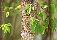 Closeup Olive-Backed Sunbird in Nest on Nature Background royalty free stock images