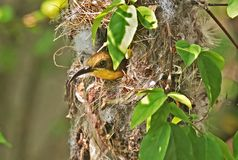 Closeup Olive-Backed Sunbird in Nest on Nature Background stock photos