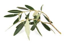 Closeup of olive tree branch isolated on a white Royalty Free Stock Photography