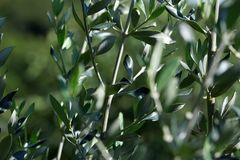 Closeup of olive tree leaves stock images
