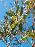 Closeup of olives and leaves on a olive tree. With background of blue sky and sea in a beautiful summer day Stock Photos