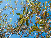 Closeup of olives and leaves on a olive tree. With background of blue sky and sea in a beautiful summer day Stock Image