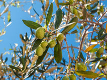 Closeup of olives and leaves on a olive tree. With background of blue sky and sea in a beautiful summer day Royalty Free Stock Images