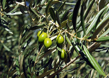 Closeup of olives, olive oil, Andalusia, Spain stock photos