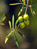 Closeup of olives, olive oil, Andalusia, Spain Royalty Free Stock Images