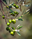 Closeup of olives, olive oil, Andalusia, Spain Stock Photo