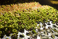 Closeup of olives in a olive oil machine Royalty Free Stock Photos