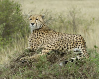 Closeup of one adult cheetah resting on top of a grass covered mound Royalty Free Stock Photography