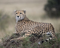 Closeup of one adult cheetah resting on top of a grass covered mound Stock Photo