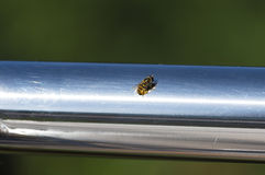 Closeup of one bee Stock Image