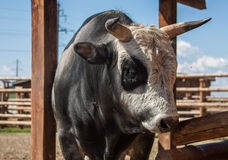 Closeup of one big domestic animal pet of ukrainian horned Stock Photo
