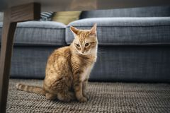 A Closeup of one calico cat on carpet in home living room. Closeup of one calico cat on carpet in home living room royalty free stock photo