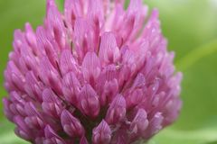 Closeup of one flower on a red clover plant. stock images