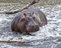 Closeup of one hippo partially submerged in water after crashing into the river Royalty Free Stock Photo