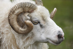 Closeup of one Icelandic Big Horn Sheep. Seydisfjordur. Royalty Free Stock Photos