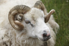 Closeup of one Icelandic Big Horn Sheep. Seydisfjordur. Royalty Free Stock Photo