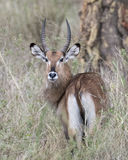 Closeup of one male Waterbuck standing in tall grass with head raised looking directly at you Stock Image