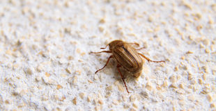 Closeup of one maybug on a wall Royalty Free Stock Photography