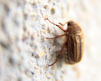 Closeup of one maybug on a wall Stock Images