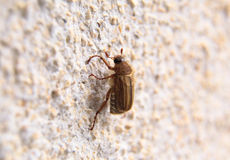 Closeup of one maybug on a wall Royalty Free Stock Images