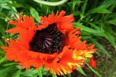 Closeup of one red, yellow and black oriental poppy - papaver orientale stock photo
