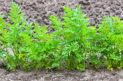 Closeup of one row of carrot plants Royalty Free Stock Photos