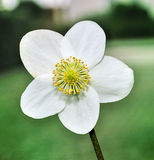 Closeup of one white flower of a Helleborus niger plant. Royalty Free Stock Photography