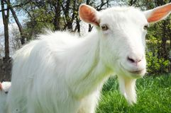 Closeup of one white goat Royalty Free Stock Images