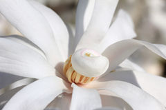 Closeup of one white magnolia flower Stock Photo