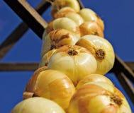 Closeup of   onion  hanging Stock Image