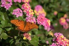 Closeup Open-winged Gulf Fritillary Butterfly on Lantana. Closeup of a vibrant orange Gulf Fritillary butterfly, wings open, feeding among pink and yellow royalty free stock photo