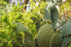 Closeup of Opuntia ficus-indica blooming with unripe fruits atta Royalty Free Stock Photos