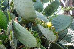 Closeup of Opuntia ficus-indica blooming with unripe fruits atta Royalty Free Stock Photo