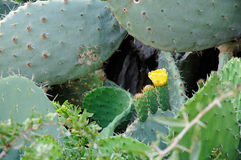 Closeup of Opuntia ficus-indica blooming with unripe fruits atta Stock Images