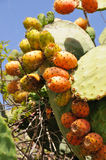 Closeup of Opuntia ficus-indica cactus at the canary in Tenerife Stock Image