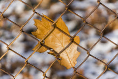 Closeup of orange autumn oak leaf stuck to a rusty chainlink fen Royalty Free Stock Image