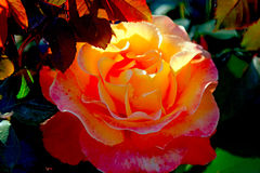 Closeup orange beautiful rose growing in the garden1. Closeup orange beautiful rose growing in the garden Royalty Free Stock Photos