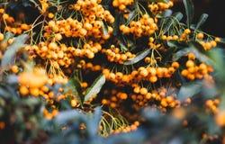 Closeup of orange berries bush stock photography