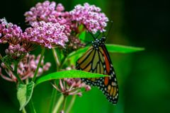 Closeup of an orange and black monarch butterfly on a pink milkw. Eed flower stock image