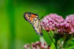 Closeup of an orange and black monarch butterfly on a pink milkw. Eed flower stock photography