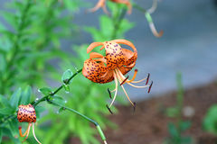 Closeup of an orange and black Tiger Lilly Stock Photos