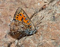 Closeup of a orange and brown butterfly Stock Photography