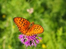 Closeup butterfly on flower. Closeup orange butterfly on brown knapweed flower royalty free stock photo