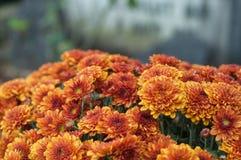Orange chrysanthemums flowers in the cemetery. Closeup of orange chrysanthemums flowers in the cemetery Stock Photos