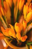 Closeup of orange crocus Stock Photography