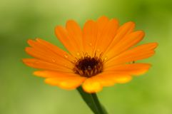 Closeup of orange flower - Calendula Royalty Free Stock Images