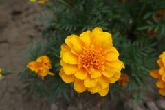 Closeup of orange flower head of Tagetes patula. Close up of orange flower head of Tagetes patula royalty free stock image