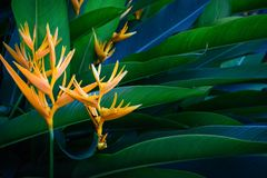 Closeup orange flower of Heliconia or golden torch or lobster-claws or toucan peak or wild plantains or false bird-of-paradise tro stock photo
