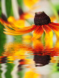 Closeup of orange flower reflected in the water Stock Photography