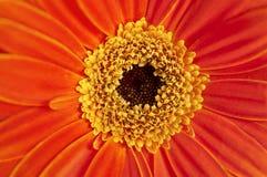 Closeup of orange Gerber daisy in macro view Stock Image
